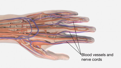 A diagram of blood vessels and nerve cords within the hand for hand-arm vibration awareness