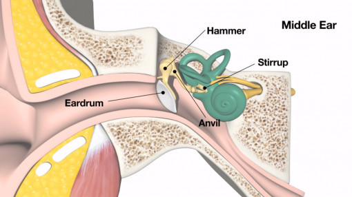 A closer look at the ear and how easy it is to damage as part of our noise awareness training